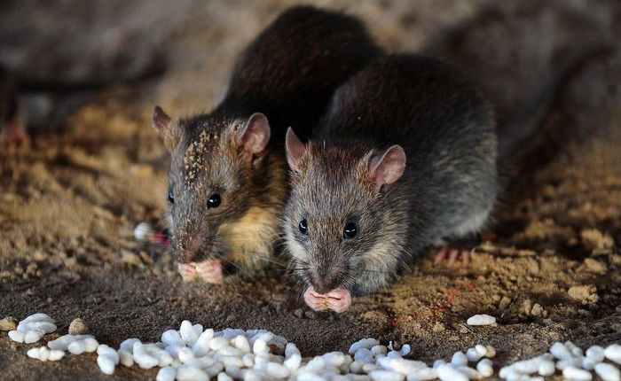 Rats eat grains of puffed rice in Allahabad on July 28, 2015. AFP PHOTO/ SANJAY KANOJIA        (Photo credit should read Sanjay Kanojia/AFP/Getty Images)